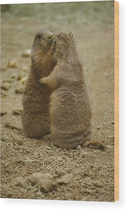 National Zoological Park Wood Print featuring the photograph National Zoo 2 Prarie Dogs Sitting by Brian Gordon Green