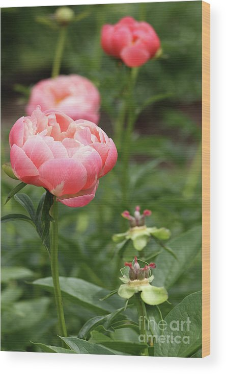 Flower Wood Print featuring the photograph Pretty In Pink by Denise Wilkins