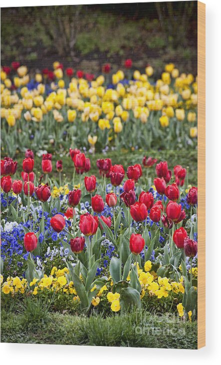 Tulips Wood Print featuring the photograph Rain On The Tulips by Cheryl Davis