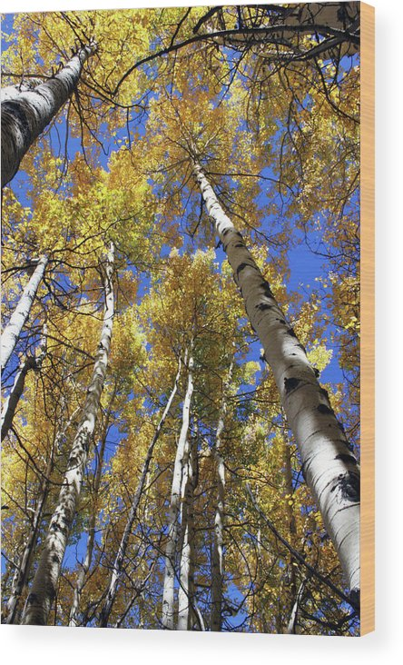 Aspens Wood Print featuring the photograph Reaching For The Sky by Ken Merop