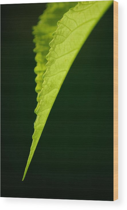 Leaf Wood Print featuring the photograph Rigid by David Weeks