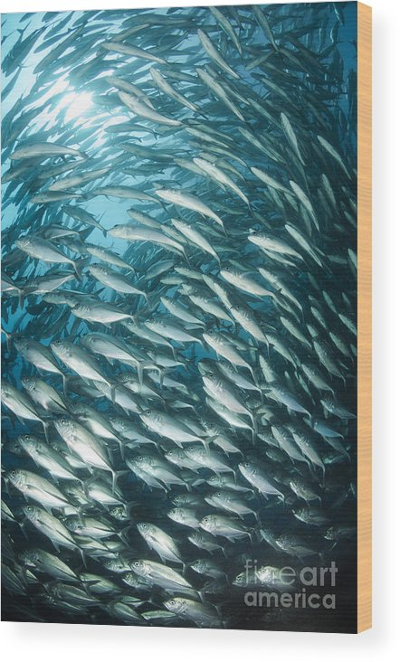 Osteichthyes Wood Print featuring the photograph School Of Jacks, Indonesia by Todd Winner