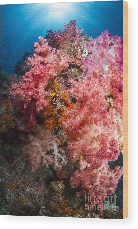Raja Ampat Wood Print featuring the photograph Soft Coral In Raja Ampat, Indonesia by Todd Winner