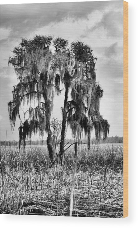Cypress Tree Wood Print featuring the photograph Southern In Black And White by JC Findley