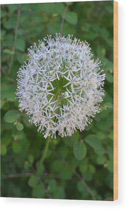 Nature Wood Print featuring the photograph Star by Tiffany Ball-Zerges