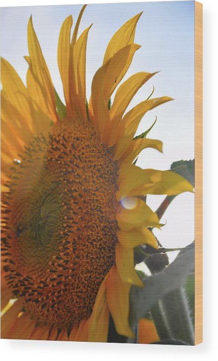 Sunflower Wood Print featuring the photograph Sunflower Closeup by Wilton Brown