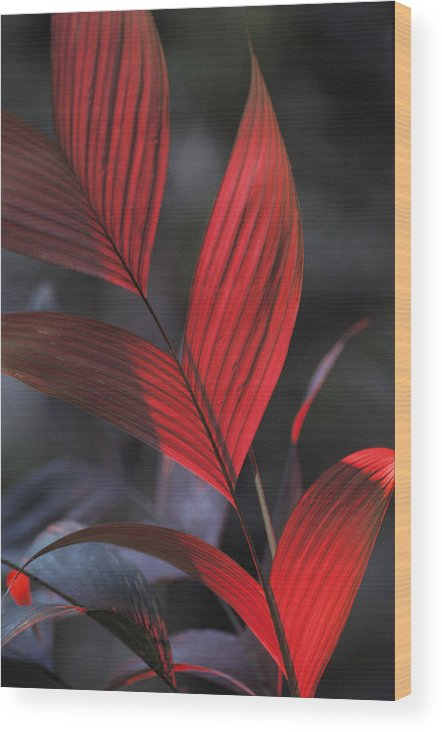 South America Wood Print featuring the photograph Sunlight Illuminates The Red Leaves by Michael Nichols