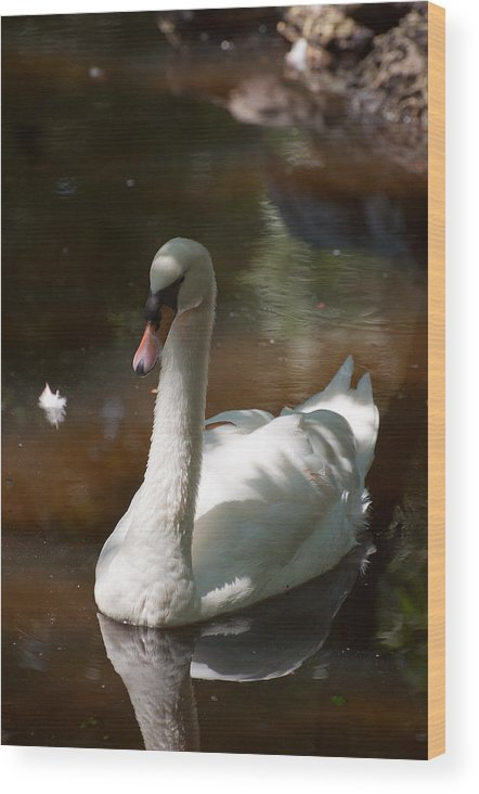 Swan Wood Print featuring the photograph Swan Lake by Donna Proctor