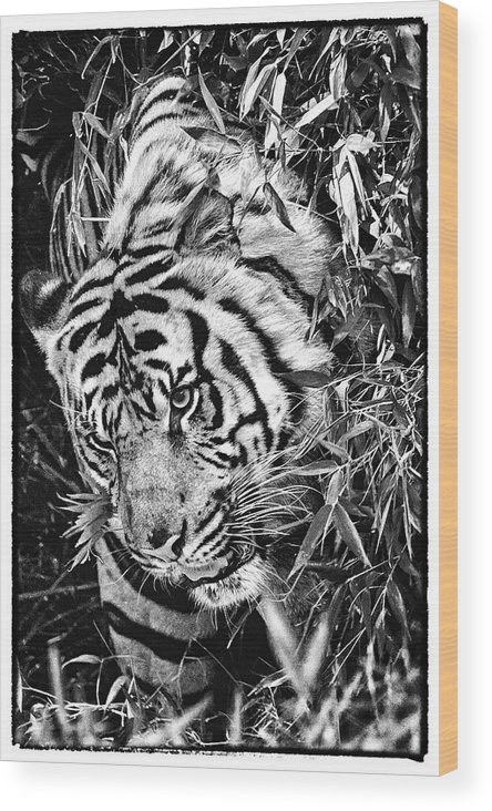 Tiger Wood Print featuring the photograph Tiger by Perla Copernik