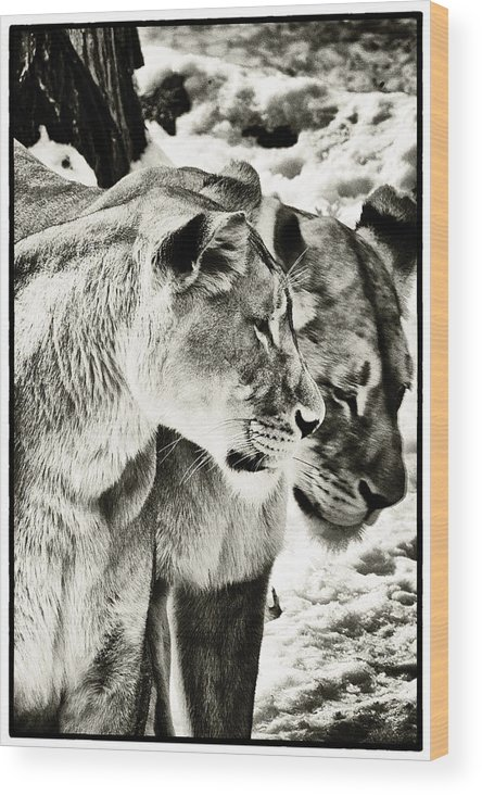 Female Lions Wood Print featuring the photograph Two Sisters by Perla Copernik