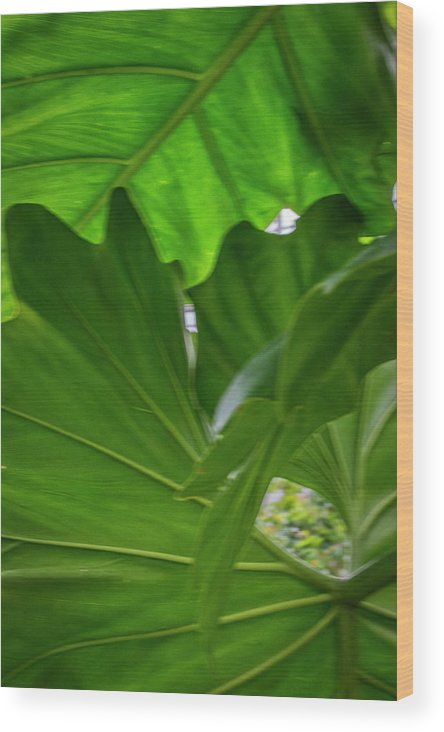 Green Leaves Wood Print featuring the photograph 4327 - Leaves by David Lange