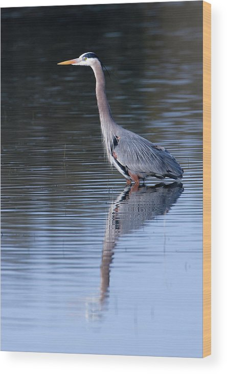 Great Blue Heron Wood Print featuring the photograph Heron Reflection by Randall Ingalls