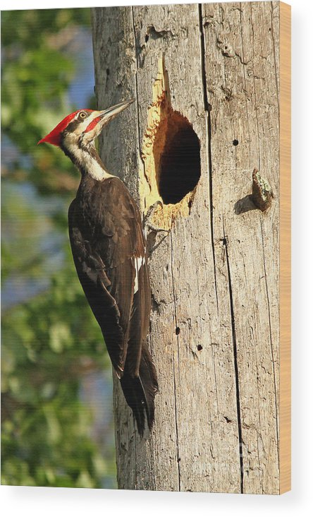 Woodpecker Wood Print featuring the photograph Pileated #26 by James F Towne