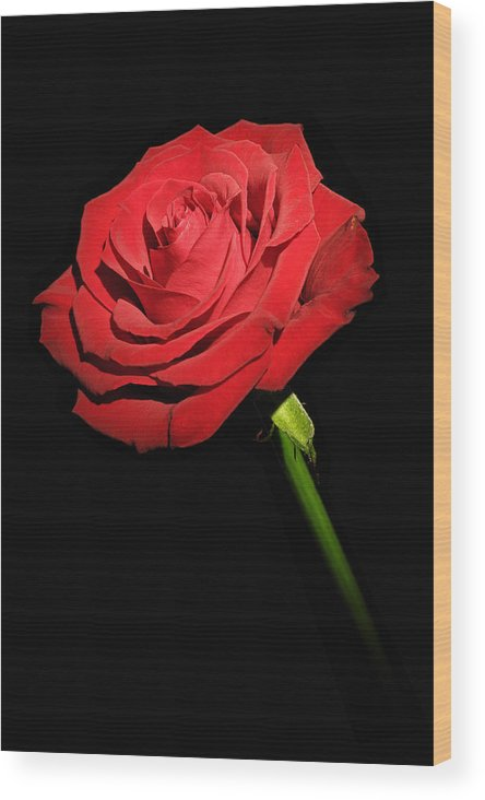 Rose Wood Print featuring the photograph Red Rose On The Black Background by Arkadiusz Wlodarczyk