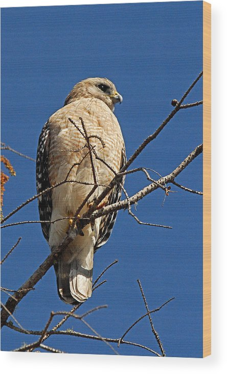 Hawk Wood Print featuring the photograph Red Shouldered Hawk by Alan Lenk