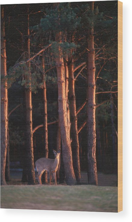 Deer Wood Print featuring the photograph White-tail Deer by Raju Alagawadi
