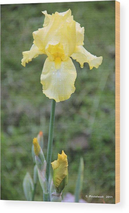 Iris Wood Print featuring the photograph Yellow Iris by Carolyn Postelwait