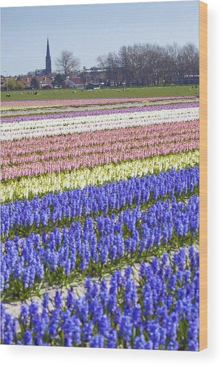 Agriculture Wood Print featuring the photograph Hyacinths Fields by Andre Goncalves
