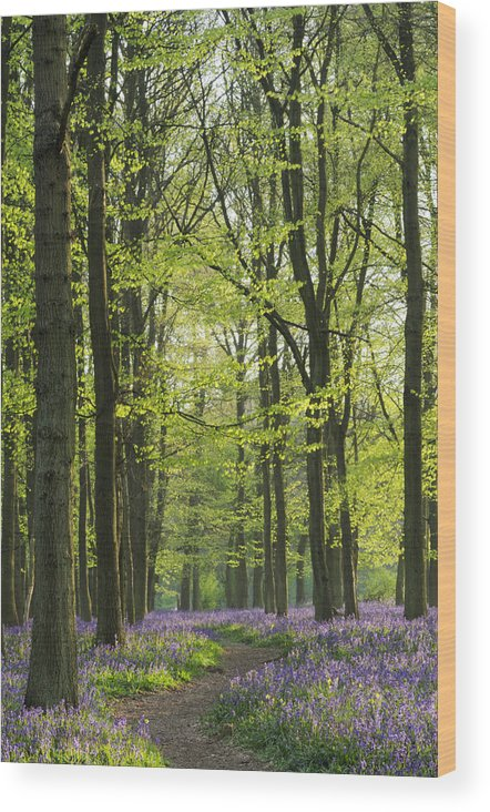 Bluebell Wood Print featuring the photograph Bluebell Wood by Liz Pinchen