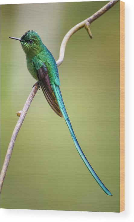 Caldas Wood Print featuring the photograph Long Tailed Sylph Rio Blanco Manizales Colombia by Adam Rainoff