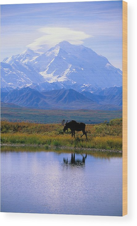 Animal Art Wood Print featuring the photograph Denali National Park by John Hyde - Printscapes