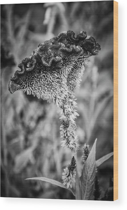 University Circle Wood Print featuring the photograph 4390- Flower Black And White by David Lange