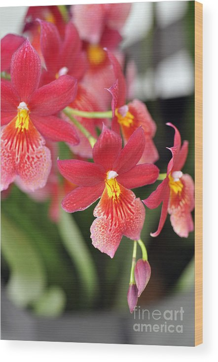 Orchid Wood Print featuring the photograph Orchids by LS Photography