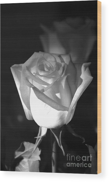 Rose Wood Print featuring the photograph A Rose by Kenneth Hess