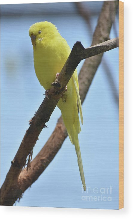 Budgie Wood Print featuring the photograph Adorable Little Yellow Parakeet In A Tree by DejaVu Designs