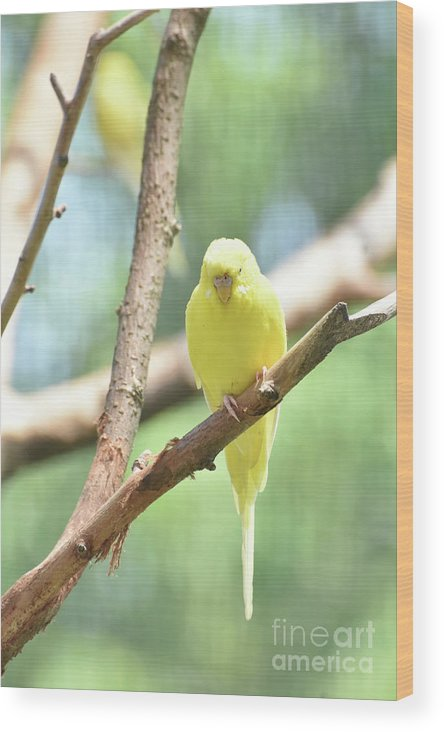 Budgie Wood Print featuring the photograph Adorable Yellow Budgie Parakeet Relaxing In A Tree by DejaVu Designs