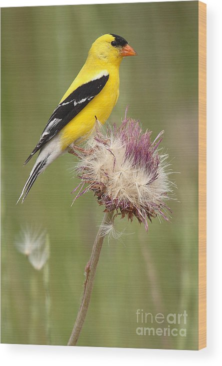 Goldfinch Wood Print featuring the photograph American Goldfinch On Summer Thistle by Max Allen