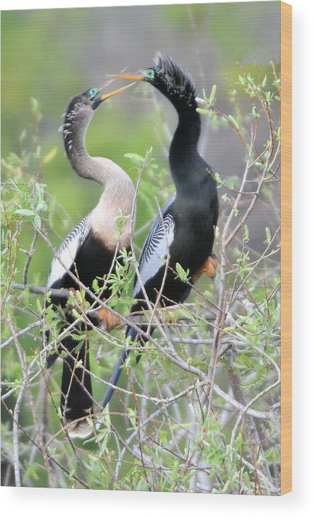 Wading Birds Wood Print featuring the photograph Anhingas Courting by Alan Lenk