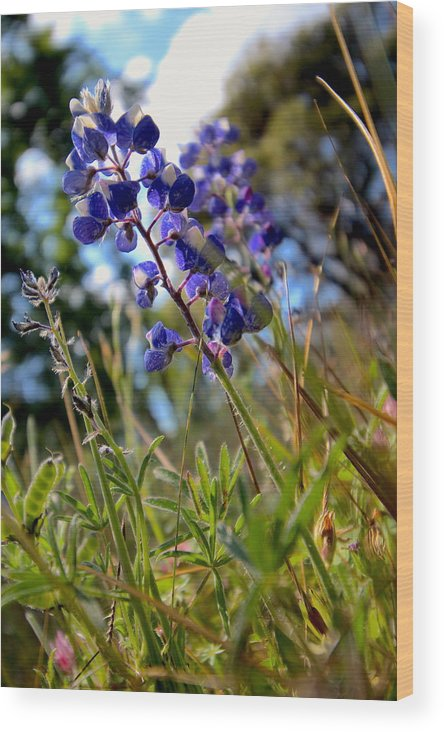 T50yp Wood Print featuring the photograph Arroyo Lupine Four by Nicholas Miller