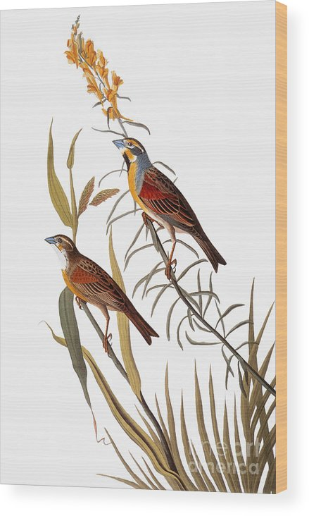 1838 Wood Print featuring the photograph Audubon: Dickcissel by Granger