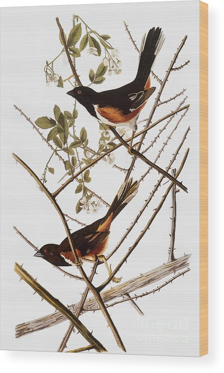 1838 Wood Print featuring the photograph Audubon: Towhee by Granger