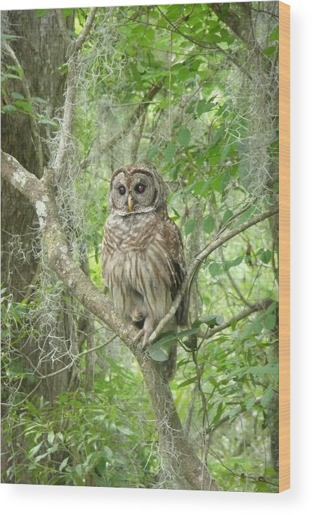 Nature Wood Print featuring the photograph Barred Owl I by Kathy Schumann