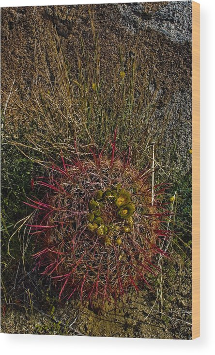 Barrel Cactus Wood Print featuring the photograph Barrel Cactus Top View by Chris Brannen
