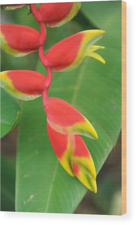 Bird Of Paradise Wood Print featuring the photograph Bird Of Paradise by Jessica Rose