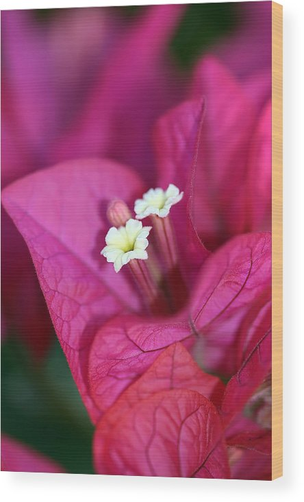 Bougainvillea Wood Print featuring the photograph Bougainvillea Burst by Lesley Smitheringale
