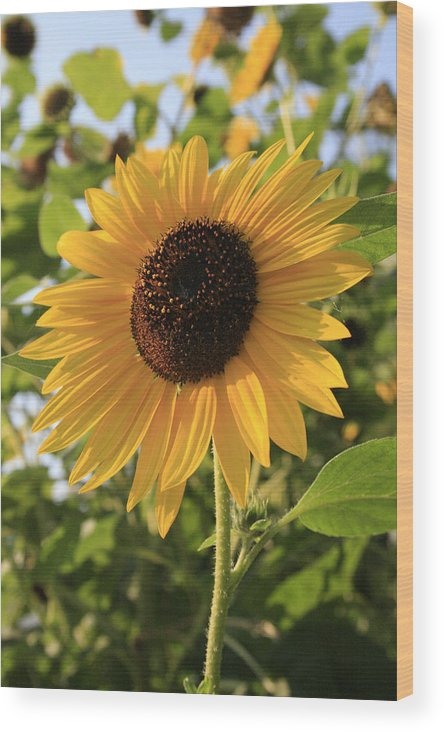 Sunflowers Wood Print featuring the photograph Brilliant By Association by Alan Rutherford