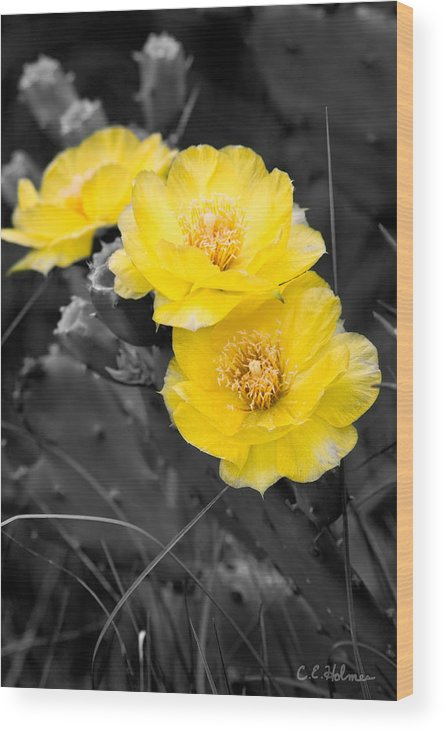Cactus Wood Print featuring the photograph Cactus Blossom by Christopher Holmes