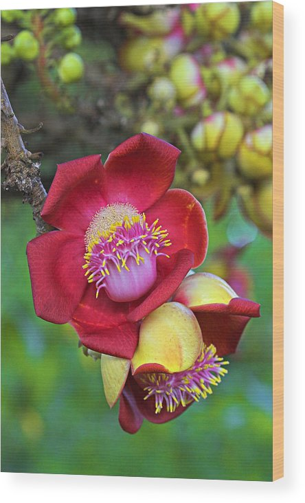 Tree Wood Print featuring the photograph Cannonball Tree Flower-st Lucia by Chester Williams