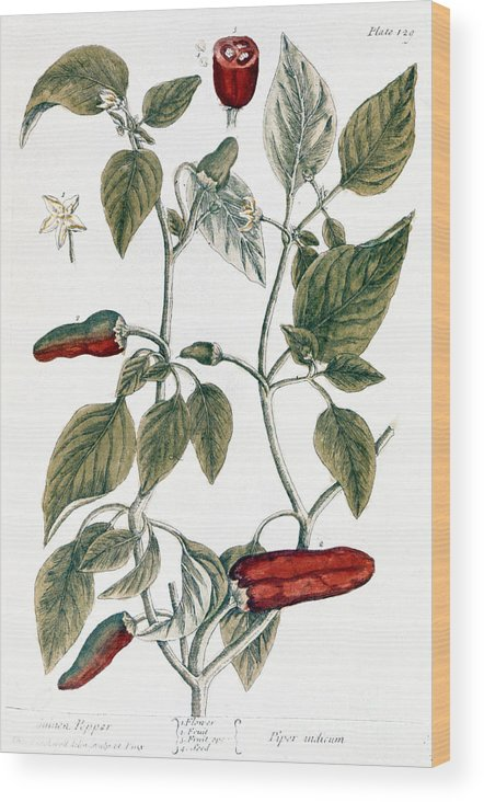 1730s Wood Print featuring the photograph Chili Pepper, 1735 by Granger