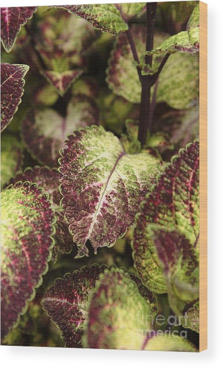 New England Wood Print featuring the photograph Coleus Plant by Erin Paul Donovan