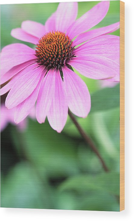 Cone Wood Print featuring the photograph Cone Flower 3 by Neil Overy