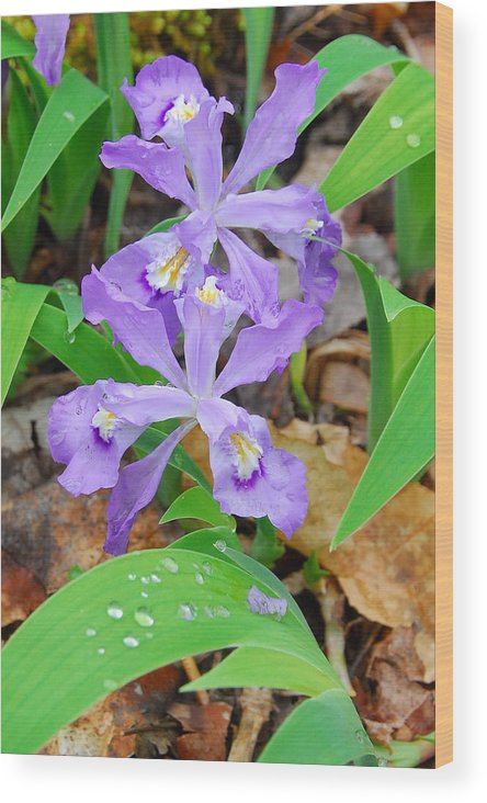 Iris Wood Print featuring the photograph Crested Dwarf Iris by Alan Lenk