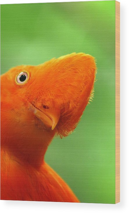 Orange Bird Wood Print featuring the photograph Curious by Linda Russell