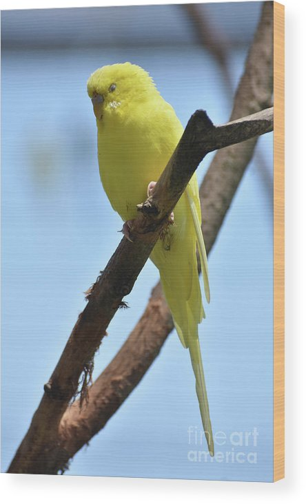 Budgie Wood Print featuring the photograph Cute Little Parakeet Resting On A Branch by DejaVu Designs