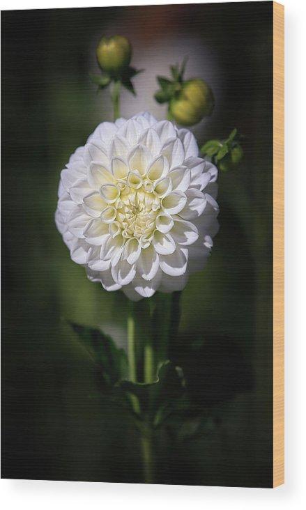 Dahlia Wood Print featuring the photograph Dahlia White Flowers II by Athena Mckinzie