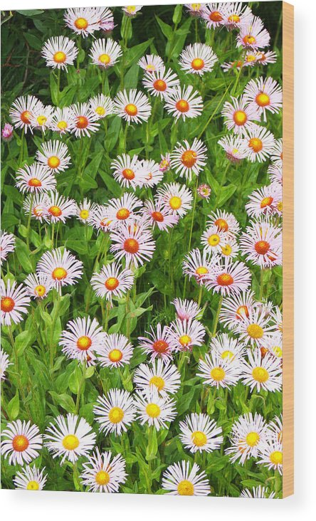 Floral Wood Print featuring the photograph Daisies by Robert Gladwin